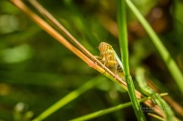 Green leafhoppers