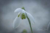 Snowdrop - looking up